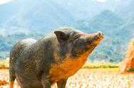 Stock Photo of vietnamese pig