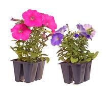 Two packs of pink- and blue-flowered petunia seedlings ready for transplantin Stock Photos