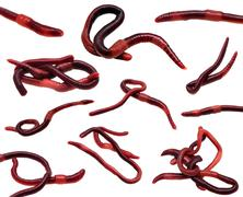 set of earthworms isolated on white - stock photo