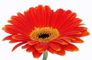 Stock Photo of gerbera isolated on white in studio