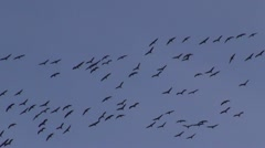 Cranes (Grus grus) on autumn sky Stock Footage