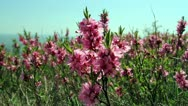 Pink blossom bushes Stock Footage