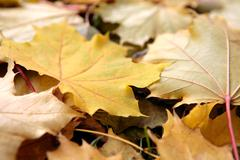 Beautiful dry autumn leaves scattered over the ground Stock Photos
