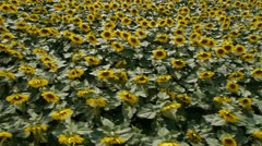 AERIAL: Sunflowers field Stock Footage