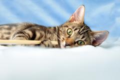 Tabby kitten playing Stock Photos