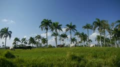 Cows under the palm trees Stock Footage