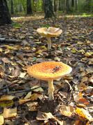 eautiful red fly agaric in the forest - stock photo