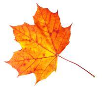 fall maple leaf - stock photo