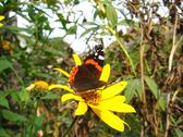 Stock Photo of the  butterfly of  vanessa atalanta on the flower