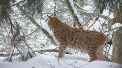Lynx in winter Stock Footage