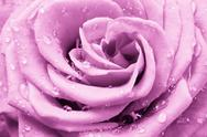Stock Photo of pink rose