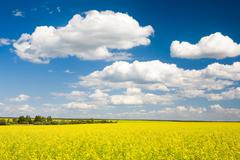 image of yellow meadow and sky with several clouds - stock photo