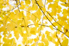 View from below of bright yellow alder tree leaves on background of autumnal sky Stock Photos