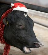 head of black bull wearing santa cap and trumpery and saying moo - stock photo