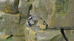 Mating seabirds Razorbill on cliff - stock footage