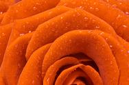 Stock Photo of orange rose