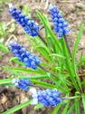 Stock Photo of some beautiful blue flowers of muscari