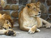 Stock Photo of lion and a lioness have a rest