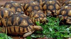 Angonoka or Ploughshare Tortoises (Astrochelys yniphora) feeding in Madagascar. Stock Footage