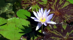 Purple waterlily at the pond. Stock Footage