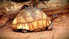 Angonoka or Ploughshare Tortoise (Astrochelys yniphora) in Madagascar. Stock Footage
