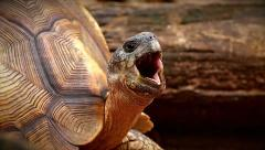 Stock Video Footage of Angonoka or Ploughshare Tortoise (Astrochelys yniphora) yawning in Madagascar.