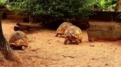 Angonoka or Ploughshare Tortoises (Astrochelys yniphora) in Madagascar. Stock Footage