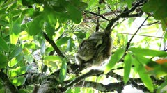 Eastern Woolly Lemur (Avahi laniger) with baby in Madagascar. Stock Footage
