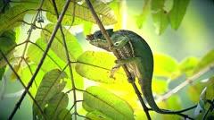 ENDANGERED Rainforest or Two-banded Chameleon in Madagascar Stock Footage