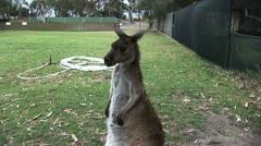 Stock Video Footage of kangaroo and joey