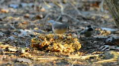 Tufted titmouse bird feeding in warm evening light in the backyard. Stock Footage