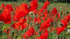 Poppies (Papaver rhoeas) Focus-Pull. Stock Footage