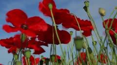 Poppies (Papaver rhoeas) Low Angle Stock Footage