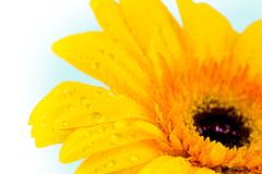 Close-up of yellow daisy with water droplets on a blue background Stock Photos