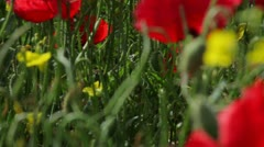 Poppies (Papaver rhoeas) Tilt-up Stock Footage