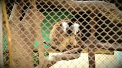 Stock Video Footage of Endangered Black Lemur improperly and illegally caged in Madagascar.