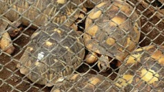 Endangered Radiated Tortoises improperly and illegally caged in Madagascar. Stock Footage