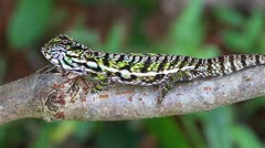 A Carpet or Jewelled Chameleon in the wilds of Madagascar Stock Footage