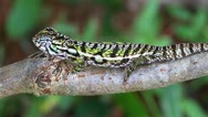 Stock Video Footage of A Carpet or Jewelled Chameleon in the wilds of Madagascar