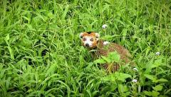 Endangered Crowned Lemur peers out from behind vegetation in Madagascar. - stock footage