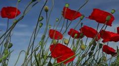Poppies (Papaver rhoeas).Low angle. Stock Footage