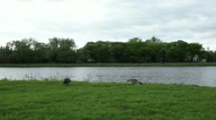 Charles river wild geese Stock Footage