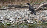 Stock Photo of waterside scenery with great cormorant