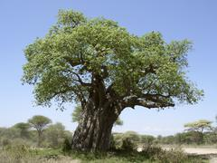 old baobab tree - stock photo