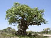 Stock Photo of old baobab tree
