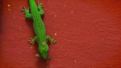 Giant Day Gecko stalks and eats insect in Madagascar. Stock Footage