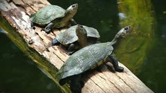 ENDANGERED Madagascan Big-headed turtles floating and basking in Madagascar. Stock Footage