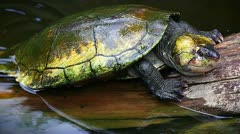 Endangered male Big-headed Turtle in Madagascar. Stock Footage