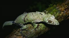 Giant Leaf-tail Gecko in Madagascar. Stock Footage