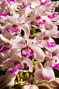 white and pink orchid of rhynchostylis gigantea (lindl.) ridl. - stock photo